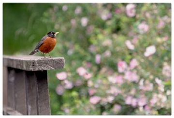 Robin and Wild Roses Photo Poster