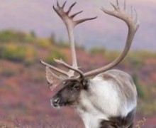 Magic Words for Caribou Hunting